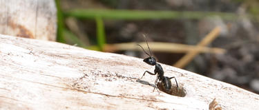 An ant coming out of a log hole