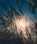 Wheat stalks in the sunlight.