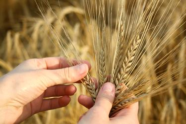 hands holding wheat stalks