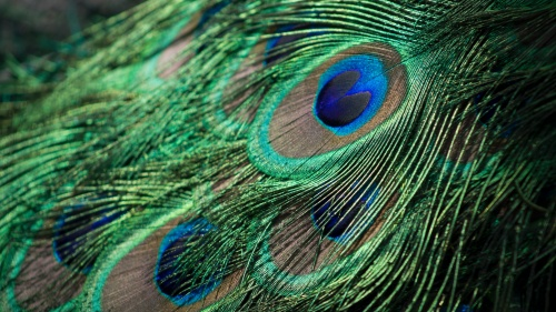 Up close image of a peacock's feather, showing one of its eyes in particular