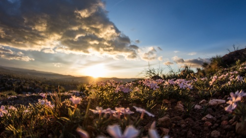 Sunset over field of flowers.