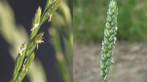 Fruiting head of darnal, fruiting head of wheat.