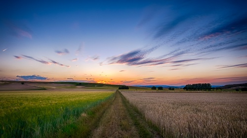 A large expanse of wheat fields.