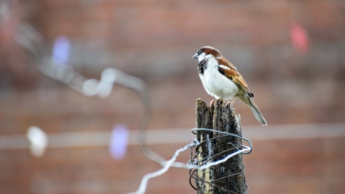 A sparrow sitting on a old fence post.