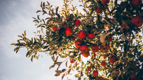 Looking up at apples on a tree.