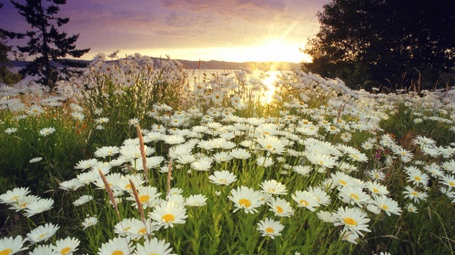 A field of daisy flowers in a field.
