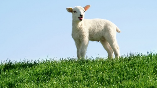 A lamb on top of green grass hill.