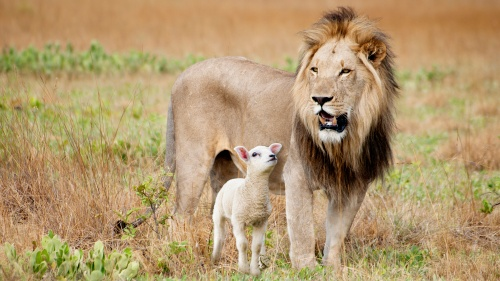 Photo illustration of a male lion and small lamb standing beside each other.