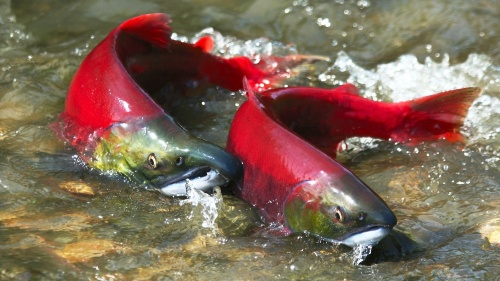 A photo of two sockeye salmon in shallow water.