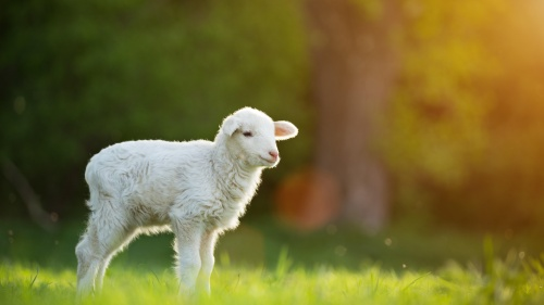A lamb in a green field.