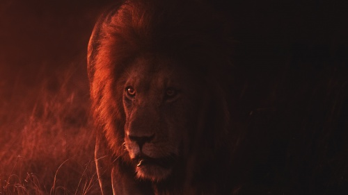 A lion partially bathed in ominous red light