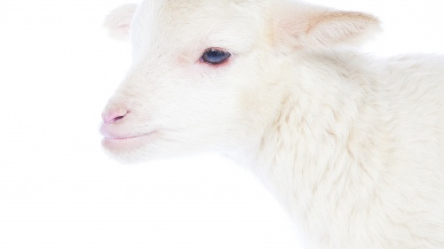 A lamb on a white background.