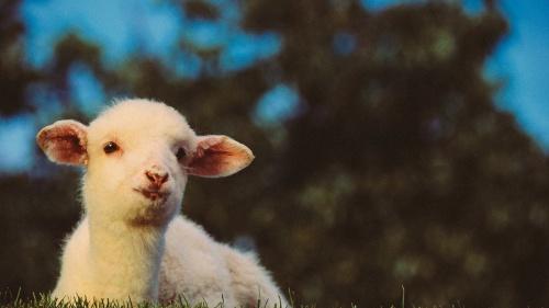 A lamb.