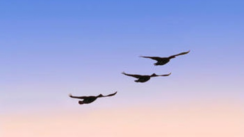 Geese flying.