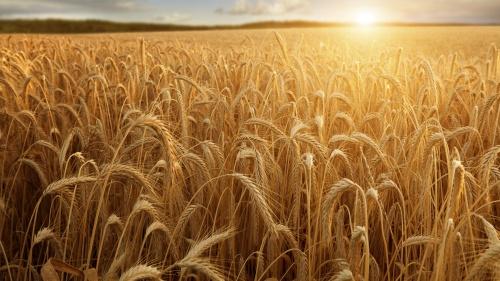 A field of wheat.