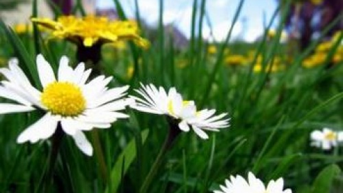 Close up of daisies in the grass - How World Peace Will Come