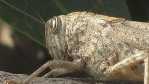 Upclose picture of a locust head.