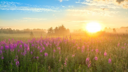 Sunset over a field of flowers.
