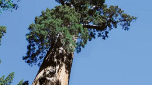 Lessons From the Mighty Sequoia