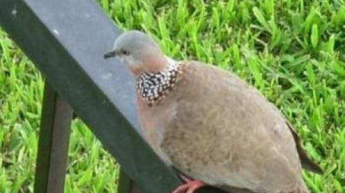 Like a Dove