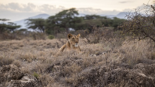 A lion sitting in field of grass.