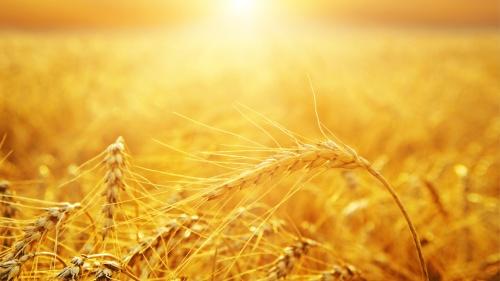 Wheat basking in the sunlight.