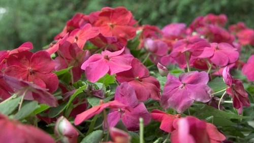 photo of impatiens flowers