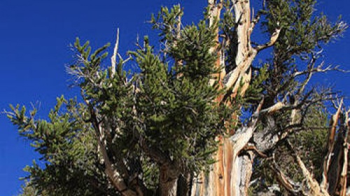 Ancient Bristlecone Pine Forest in the White Mountains of eastern California