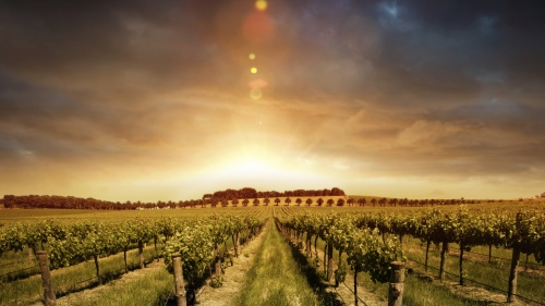 A sunrise over a vineyard.