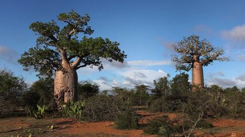 Boabob Trees in Madagascar