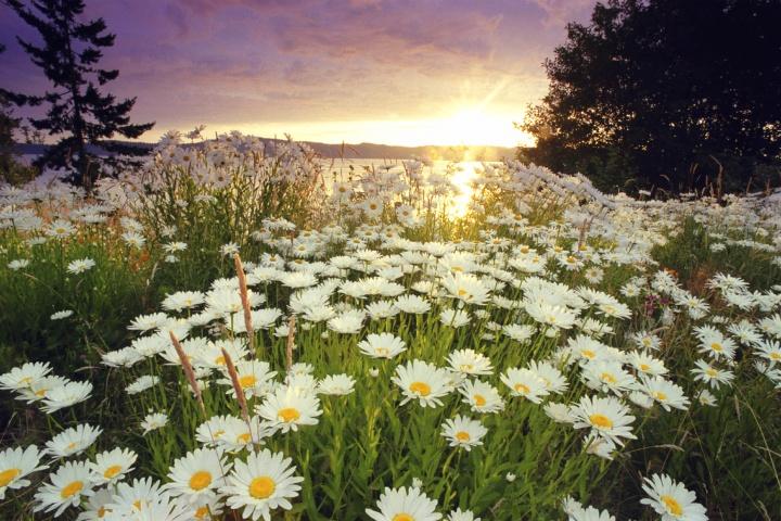 A field of daisy flowers in a field.