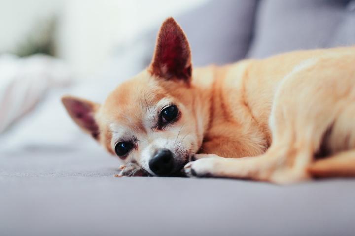 A Chihuahuas dog.