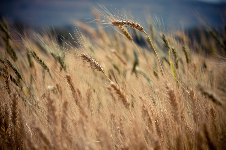 A wheat field up close.