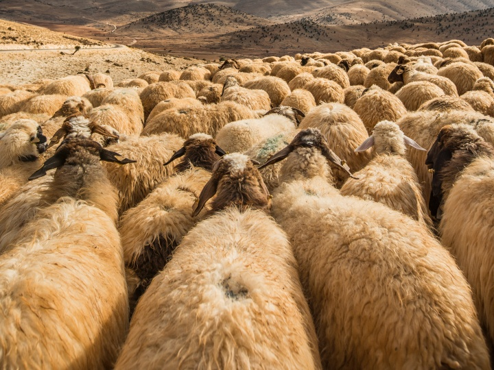 A flock of sheep.