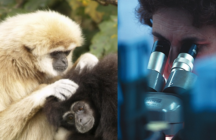 A monkey picking at another monkey. A man looking through a microscope.