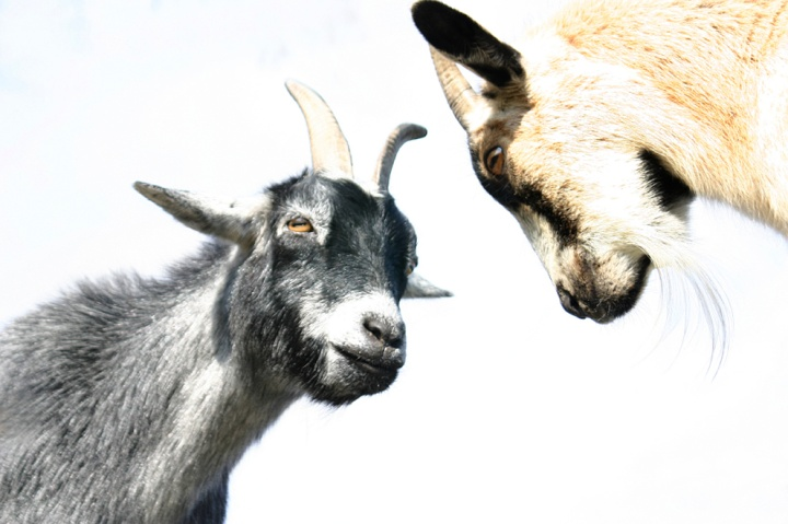 Two goats face each other.