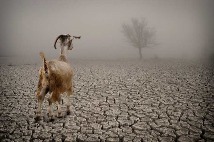 A goat on dry parched land.