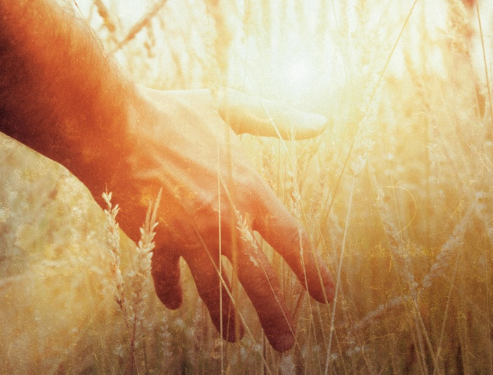 A man's hand touching stalks of wheat.