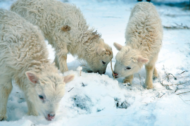 Sheep looking for food in the snow.