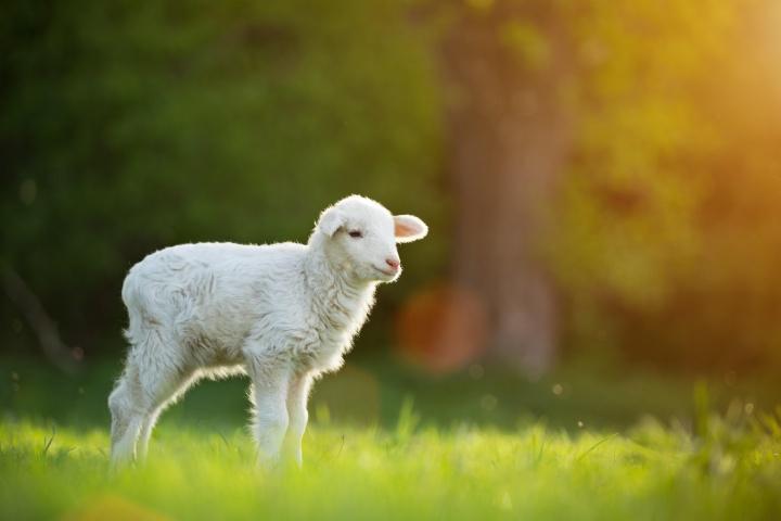 A lamb in a green field.