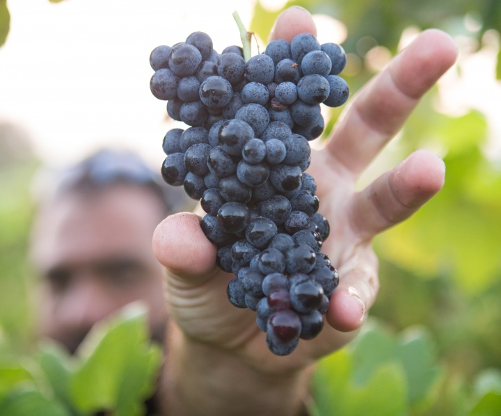 A man reaching for a cluster of grapes on a vine.