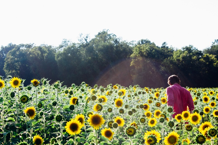 A person walking in a field of sunflowers.