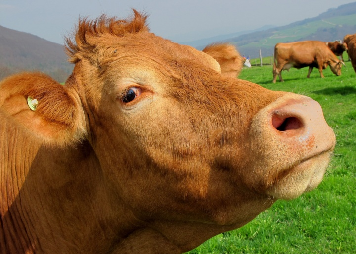 Up close photo of a brown cow.