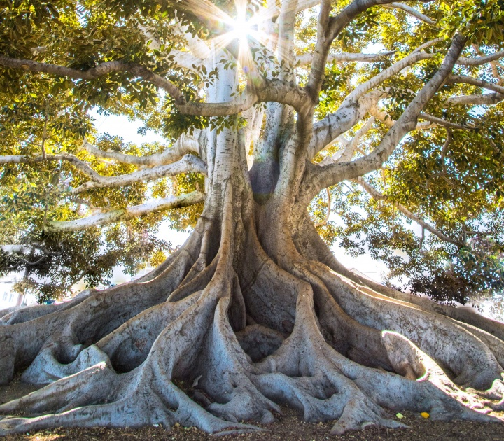 Tall, sturdy tree with visible roots and sunlight shining through the leaves.