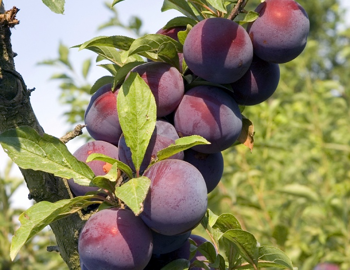 Plum fruit of a tree.