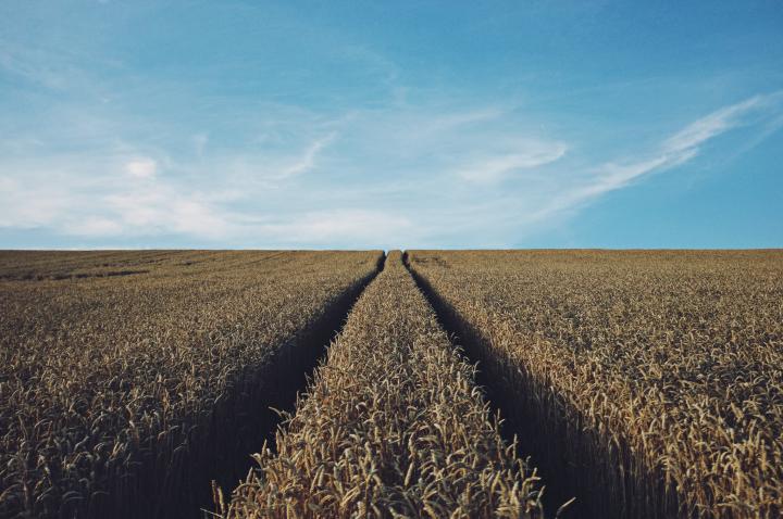 A field of grain.