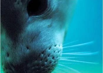 A Seal's Amazing Whiskers