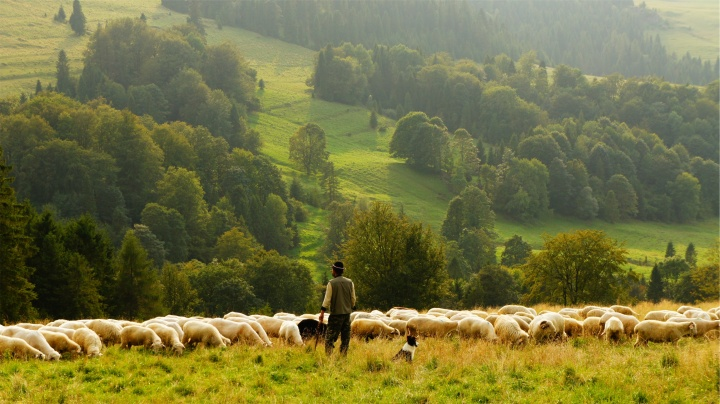 A shepherd with sheep in a green pasture.