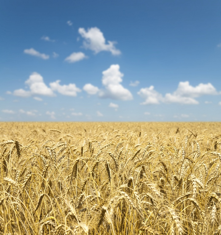 Field of golden wheat with blue sky and clouds
