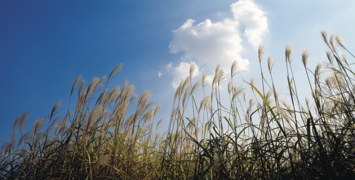 Wheat grass waving in the the blue sky.